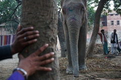 An elephant diplayed at Sonepur Mela.